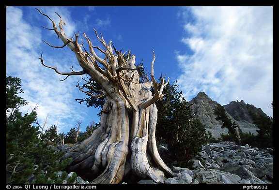 Bristlecone Pine tree, Wheeler Peak Basin, afternoon. Great Basin National Park (color)