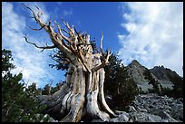 Bristlecone Pine tree, Wheeler Peak Basin, afternoon. Great Basin National Park ( color)