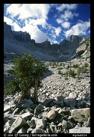 Bristlecone pine and rocks cirque, Wheeler Peak, morning. Great Basin National Park, Nevada, USA.