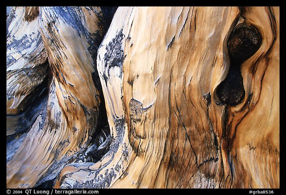 Detail of Bristlecone pine trunk. Great Basin National Park, Nevada, USA.
