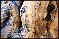 Detail of Bristlecone pine trunk. Great Basin National Park, Nevada, USA. (color)