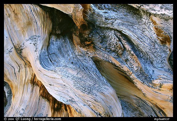 Detail of Bristlecone pine roots. Great Basin National Park (color)