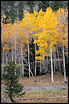 Aspen trees in fall color. Great Basin National Park, Nevada, USA. (color)