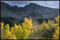 Aspens in fall foliage and Wheeler Peak. Great Basin National Park, Nevada, USA.