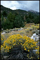 Sage in bloom and Snake Range. Great Basin National Park, Nevada, USA.