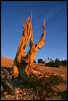 Bristlecone Pine squeleton, Mt Washington, sunrise. Great Basin National Park, Nevada, USA. (color)