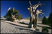 Bristlecone Pine trees, Mt Washington, early morning. Great Basin National Park, Nevada, USA. (color)