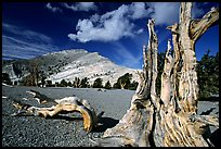 Weathered Bristlecone Pine squeleton and Mt Washington, morning. Great Basin National Park, Nevada, USA. (color)