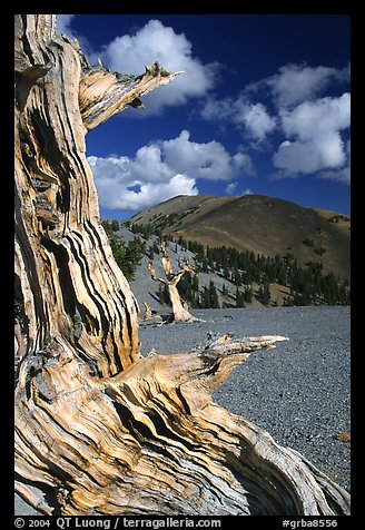 Weathered Bristlecone Pine wood, Mt Washington, morning. Great Basin National Park (color)