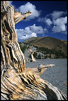 Weathered Bristlecone Pine wood, Mt Washington, morning. Great Basin National Park, Nevada, USA.