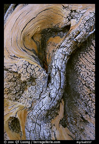 Bristlecone pine tree detail. Great Basin National Park (color)
