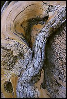 Bristlecone pine tree detail. Great Basin National Park ( color)