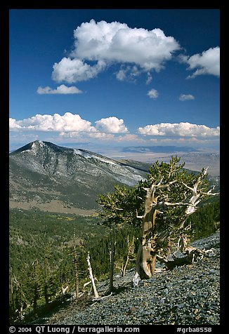 Bristlecone pine trees and Highland ridge, afternoon. Great Basin National Park, Nevada, USA.