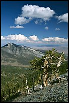 Bristlecone pine trees and Highland ridge, afternoon. Great Basin National Park ( color)