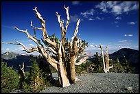 Tall Bristlecone pine trees, afternoon. Great Basin National Park, Nevada, USA. (color)