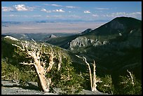 Bristlecone pine trees and Pole Canyon, afternoon. Great Basin National Park, Nevada, USA.