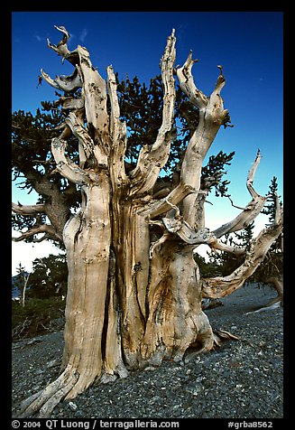 Ancient Bristlecone pine tree. Great Basin National Park, Nevada, USA.