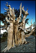 Ancient Bristlecone pine tree. Great Basin National Park, Nevada, USA. (color)