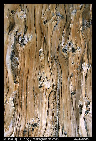 Detail of trunk of Bristlecone pine tree. Great Basin National Park (color)