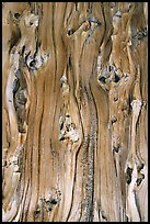 Detail of trunk of Bristlecone pine tree. Great Basin National Park, Nevada, USA.