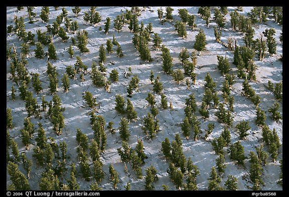Grove of Bristlecone Pines on hillside near Mt Washington, morning. Great Basin National Park (color)