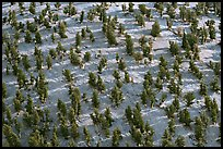 Grove of Bristlecone Pines on hillside near Mt Washington, morning. Great Basin National Park, Nevada, USA. (color)