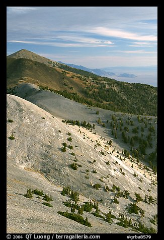 Bristlecone Pine trees and multi-hued peaks, Snake range seen from Mt Washington, morning. Great Basin National Park (color)