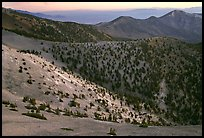 Slopes covered with Bristlecone Pines seen from Mt Washington, dawn. Great Basin National Park, Nevada, USA.