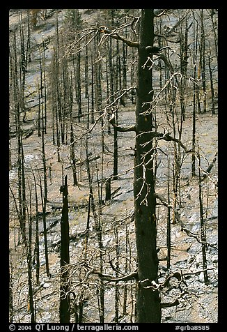Slopes with burned forest. Great Basin National Park, Nevada, USA.