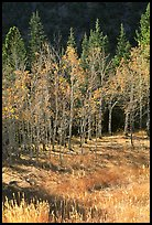 Aspens in fall color. Great Basin National Park, Nevada, USA. (color)