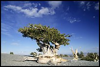 Twisted Bristlecone pine tree with Bonsai shape. Great Basin National Park, Nevada, USA. (color)