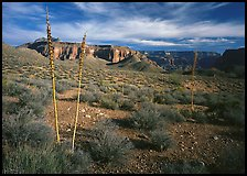 Agave flower skeletons and mesas in Surprise Valley. Grand Canyon National Park, Arizona, USA. (color)