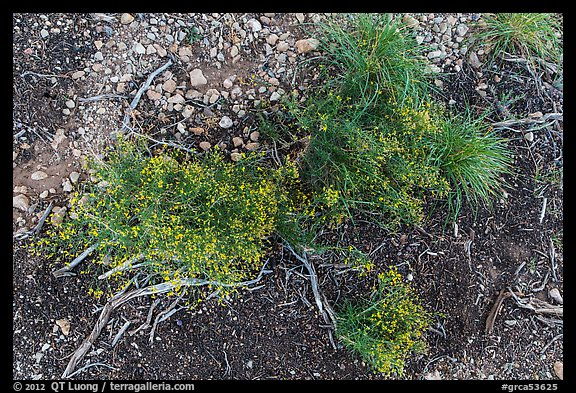 Ground close-up with flowers and gravel. Grand Canyon National Park (color)