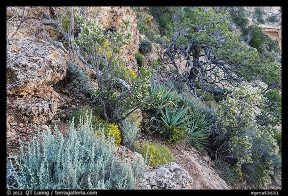 Pinyon pine and juniper zone vegetation zone. Grand Canyon National Park (color)