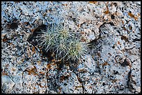 Cactus growing on rock with lichen. Grand Canyon National Park, Arizona, USA. (color)
