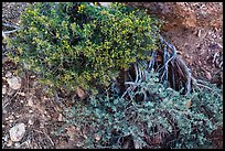 Ground close-up with shrubs and juniper. Grand Canyon National Park, Arizona, USA. (color)