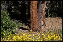 Flowers and Ponderosa pine tree trunks. Grand Canyon National Park, Arizona, USA. (color)