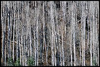 Bare aspen trees on hillside. Grand Canyon National Park ( color)