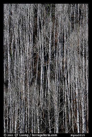 Bare aspen forest on hillside. Grand Canyon National Park, Arizona, USA.