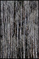 Bare aspen forest on hillside. Grand Canyon National Park ( color)