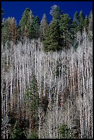 Bare aspen trees mixed with conifers on hillside. Grand Canyon National Park, Arizona, USA.