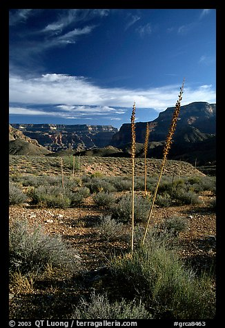 Agave flower skeletons in Surprise Valley, late afternoon. Grand Canyon National Park (color)