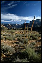 Agave flower skeletons in Surprise Valley, late afternoon. Grand Canyon National Park, Arizona, USA. (color)