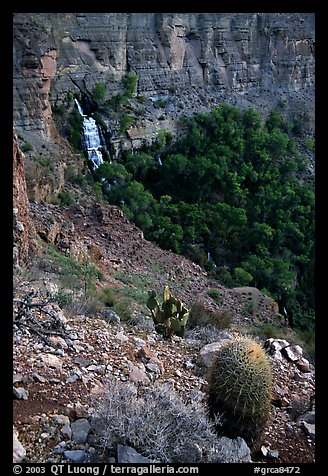 Barrel cactus and Thunder Spring, early morning. Grand Canyon National Park, Arizona, USA.