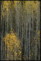 Tall aspens in autumn. Grand Canyon National Park ( color)