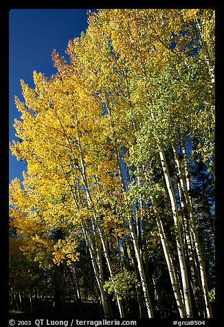 Aspens in autumn. Grand Canyon National Park (color)