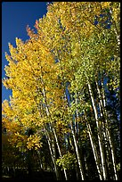 Aspens in autumn. Grand Canyon National Park, Arizona, USA. (color)