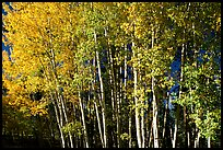 Aspens in  fall. Grand Canyon National Park ( color)