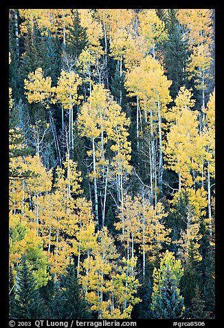 Aspens and evergeens on hillside, North Rim. Grand Canyon National Park (color)
