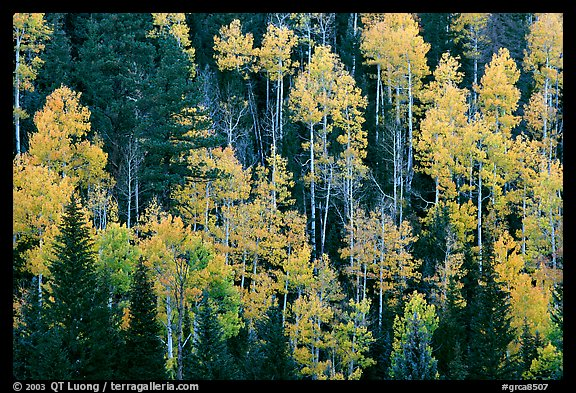 Aspens and evergreens on hillside, North Rim. Grand Canyon National Park, Arizona, USA.